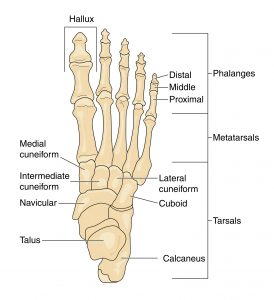 a diagram showing the bones of the feet